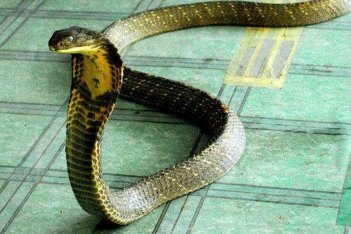King Cobra Snake Eating Human