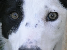 The Dog Liberator's Border Collie Rescue Blog