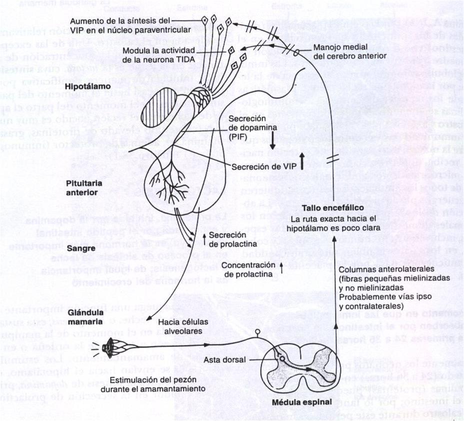 Atractivo Vaca Anatomía Glándula Mamaria Componente - Imágenes de ...