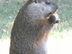 (Skogs)murmeldjur...