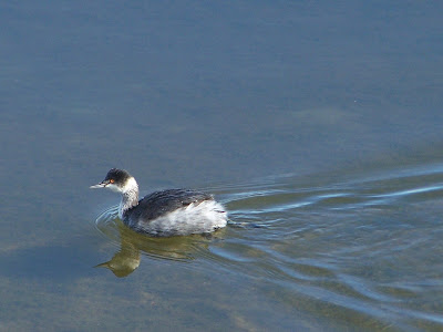 Eared Grebe in winter plumage copyright Karen McQuade, the OC Birder Girl