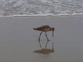 Marbled Godwit on the beach at Huntington Beach