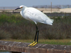 Snowy Egret on Bolsa Chica Bridge
