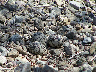 Killdeer eggs in nest at San Joaquin Wildlife Sanctuary