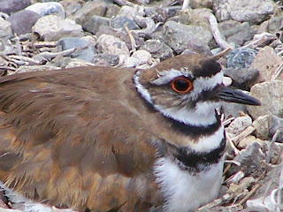 Killdeer on its nest at San Joaquin Wildlife Sanctuary