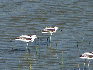 American Avocets in Winter Plumage