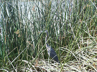 Great Blue Heron Hiding in the Reeds