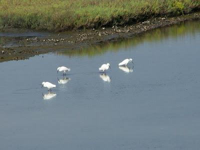 Snowy Egrets at Bolsa Chica