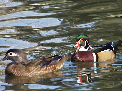 There are quiet a few Wood Ducks in the park. They eat acorns and other food