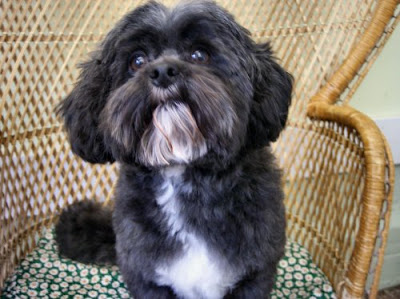 Shih Tzu Poodle Mix For His Grooming I Just Trim Up Head Legs And Scissor Lightly Under Belly Chest Blend Ears The Top Of