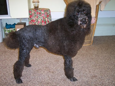 The Healthy Dog: Standard Poodle Lion Clip