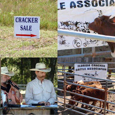 Cattle Auctions on Pure Florida  The Florida Cracker Cattle Auction