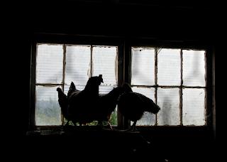 chickens Maine
