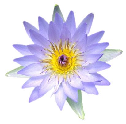 blue-lotus-flower images Blue Lotus Flowers