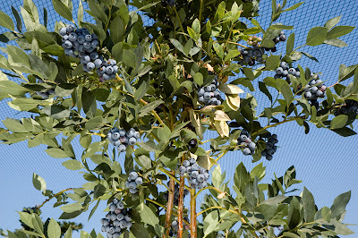 Best Blueberries Varieties To Grow On Vancouver Island