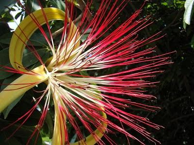 Plantas de interior - Flor da Pachira aquatica