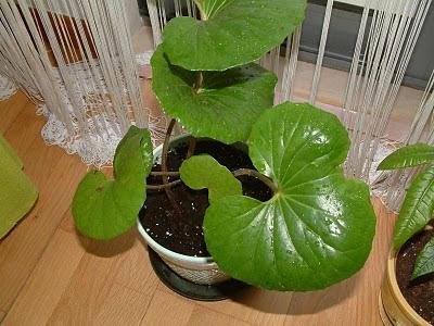 Plantas de interior - Farfugium japonicum