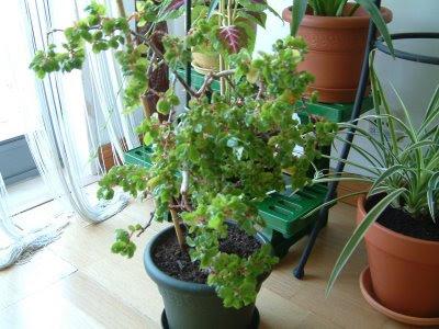 Plantas de interior: Begonia foliosa