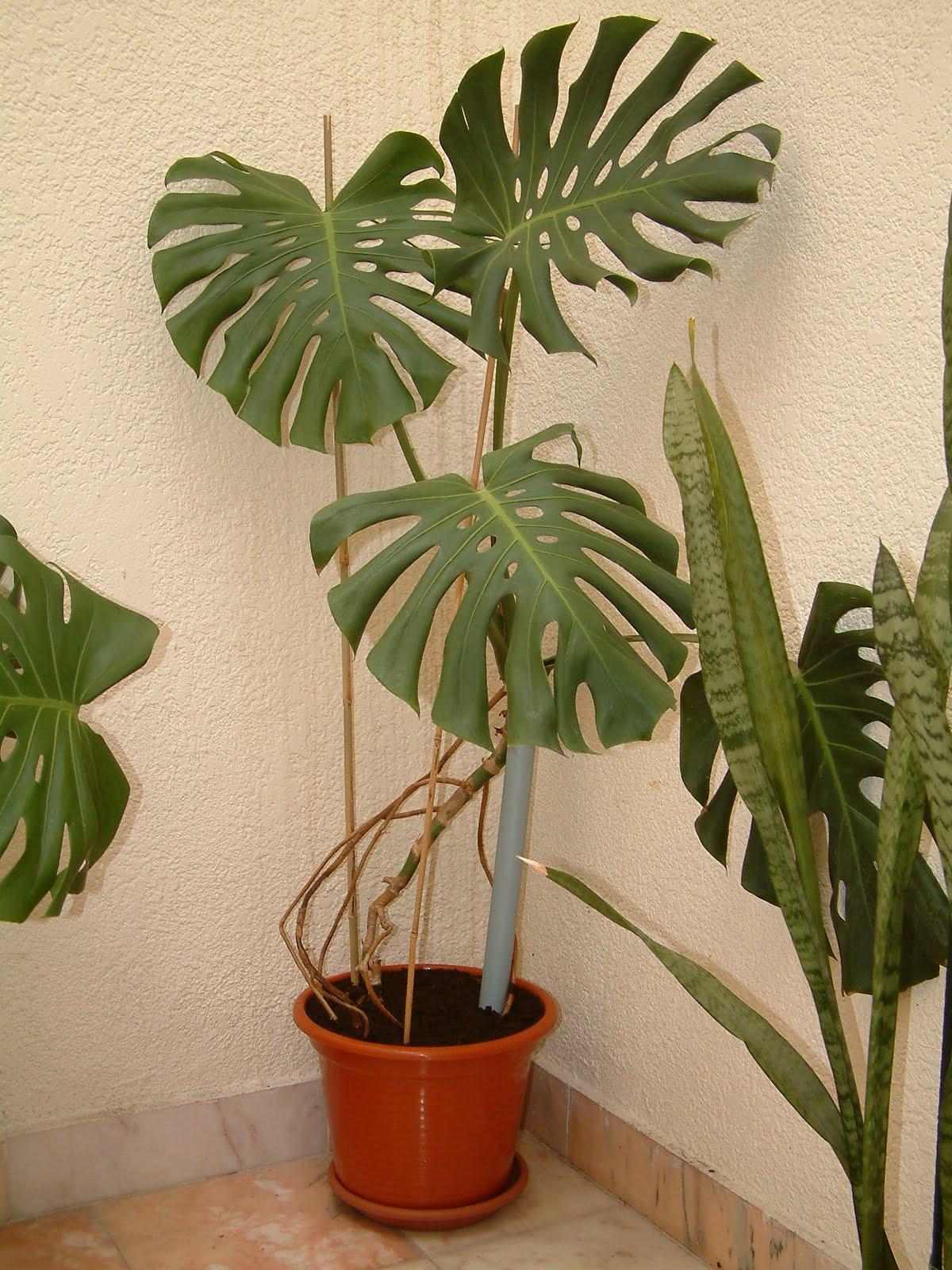 Monstera deliciosa ou costela de ad o plantas de - Macetas para plantas de interior ...