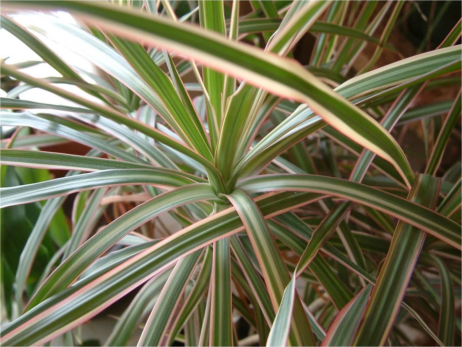 Dracaena marginata ou dracena de madagascar plantas de - Plantas de interior resistentes ...