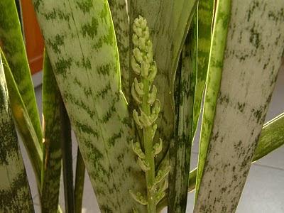 Plantas de interior - Sansevieria trifasciata