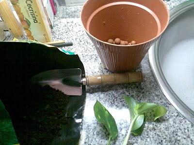 Plantas de interior - Epipremnum aureum