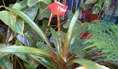 Plantas de interior - Vriesea