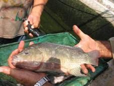 Como criar mojarra tilapia for Criar tilapias en estanques