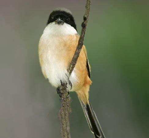burung pentet merupakan salah satu burung predator yang