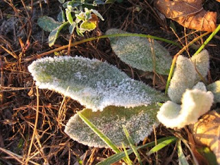 frosted lamb's ear