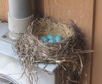 robins eggs