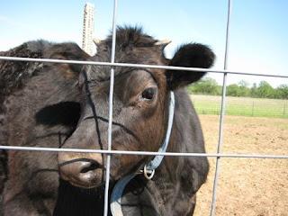 frisky steers