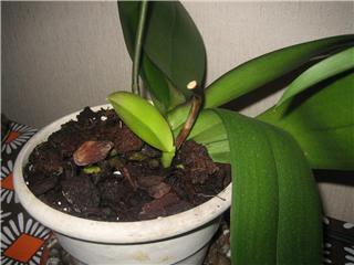Orchidofilia keiki orchidee for Nuovo stelo orchidea