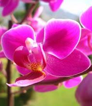 Phalaenopsis Zuma's Pixie (Carmela's Pixie x equestris)