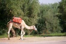 Los camellos y calor
