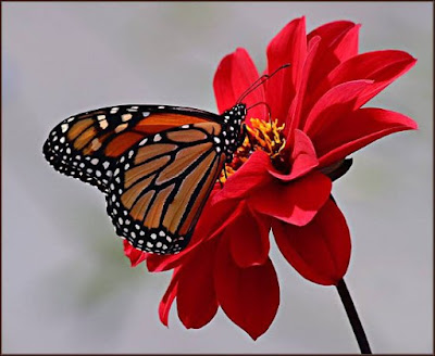 mariposa+flor