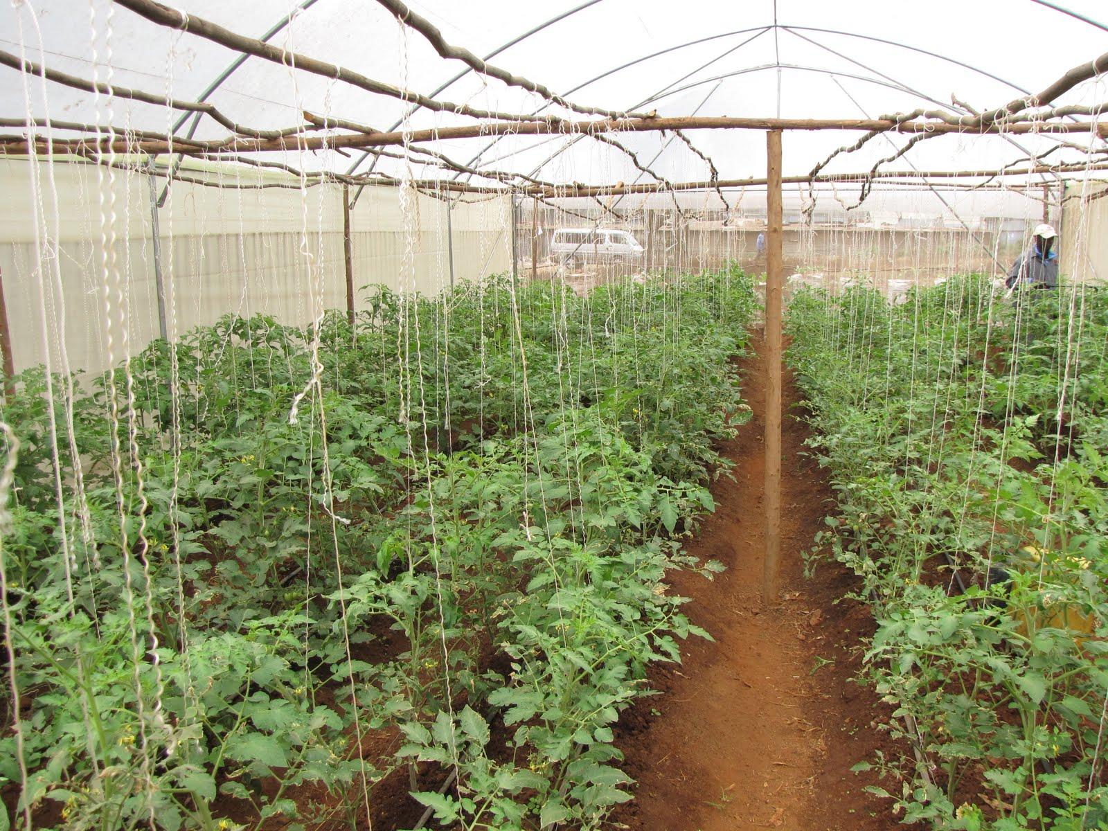 Выращивание томатов видео 60