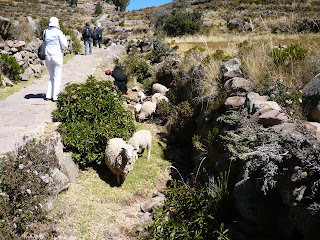 Sheep on trail to Taquile main square