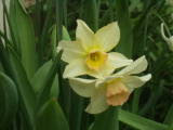 Narcissus Waterperry
