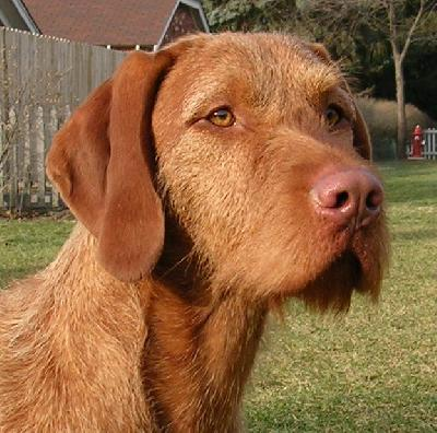 Vizsla Puppies on Dogbreedcatalog  Wirehaired Vizsla Dog