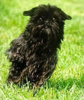 Affenpinscher Cute Dog