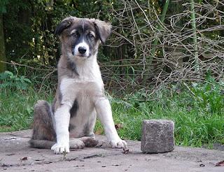 Aidi Dog Picture