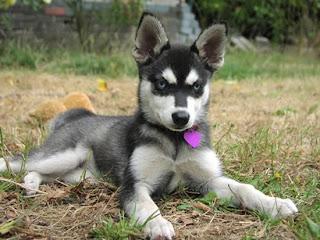 Alaskan Klee Kai Cute Puppies