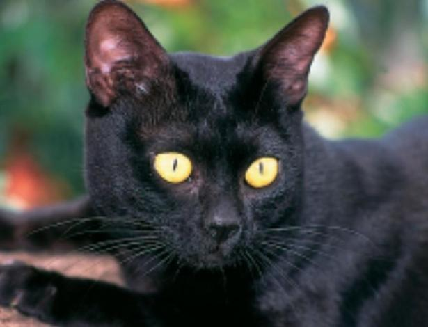 Bombay cat pictures