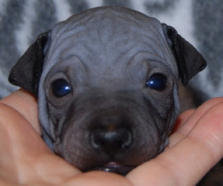 American Hairless Terrier Puppies Picture