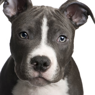 American Pit Bull Terrier Face