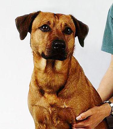Austrian Pinscher Dog Picture