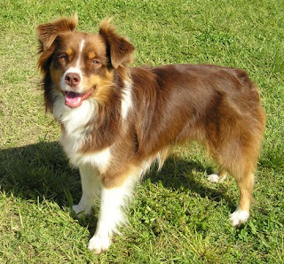 Australian Shepherd Dog Picture