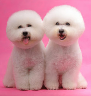 Bichon Frisé Dog puppies