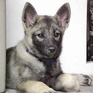 Norwegian Elkhound Dog Puppies